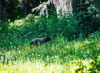 Black Bear in Yosemite National Park