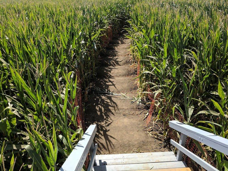 On Halloween and corn mazes