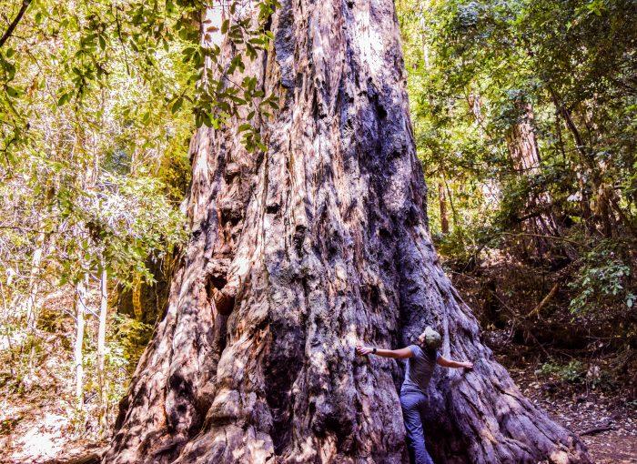 Portola Redwood State Park Old Tree