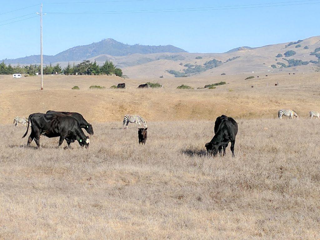 Hearst Castle Cattle