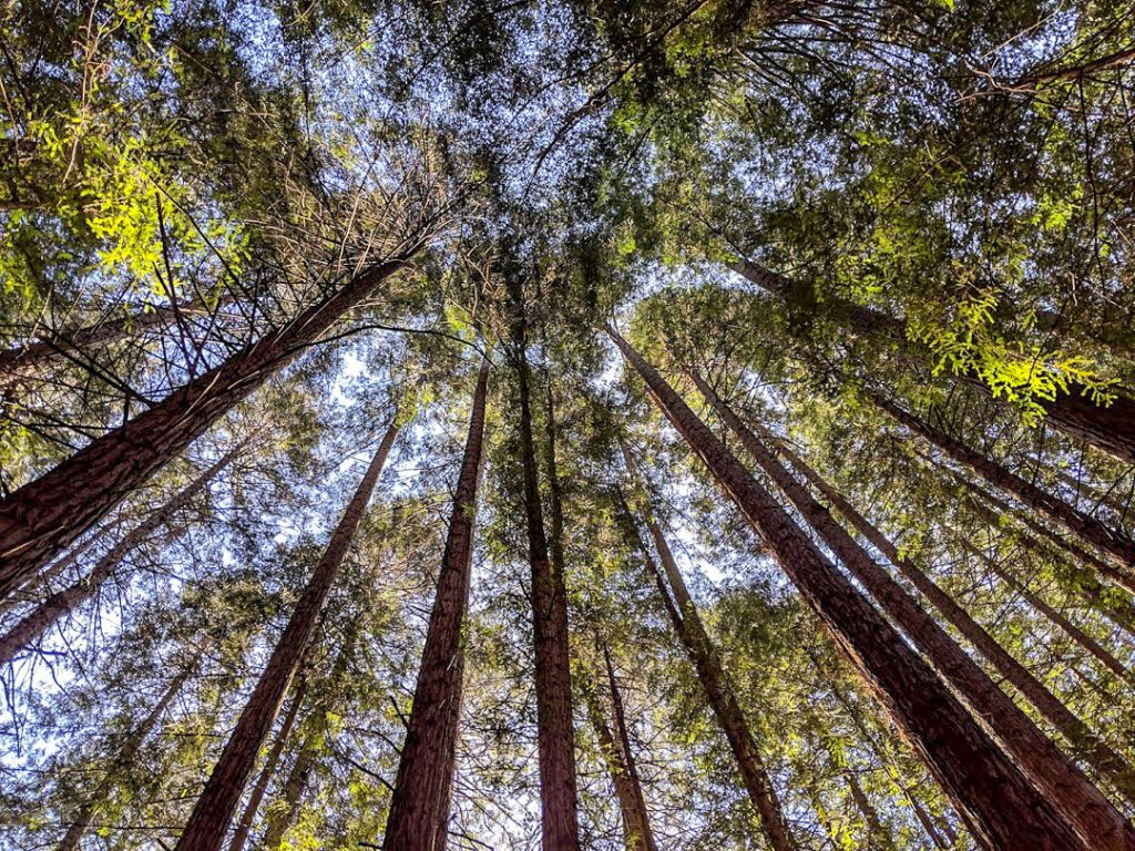 Canopy of Redwood Trees