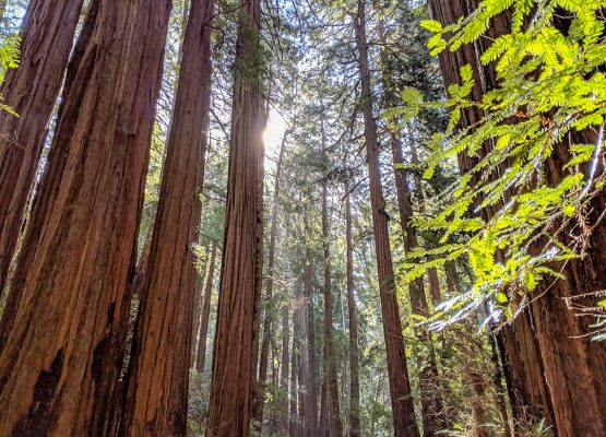 A Muir Woods Tour (Redwoods, hikes, and critters!)