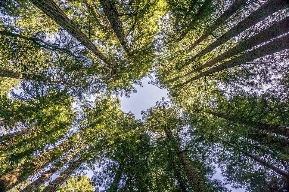 Muir Woods Redwood Trees