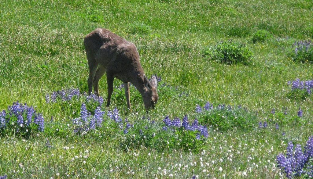 Columbian Blacktailed Deer