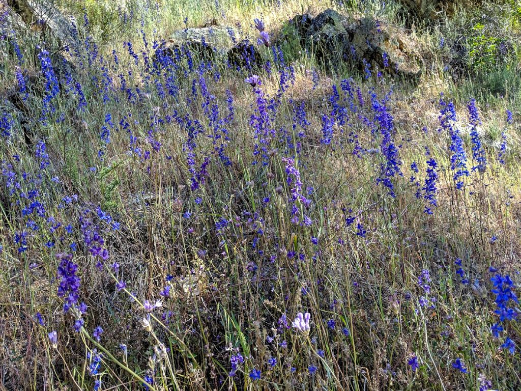 WIldflowers at Pinnacles National Park