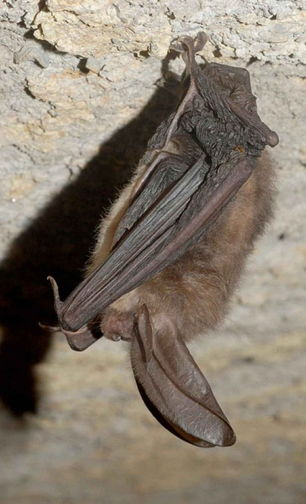 Townsend's big eared bat